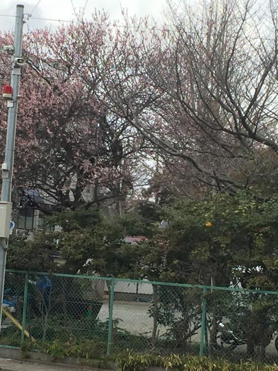 巌嶋神社の桜2
