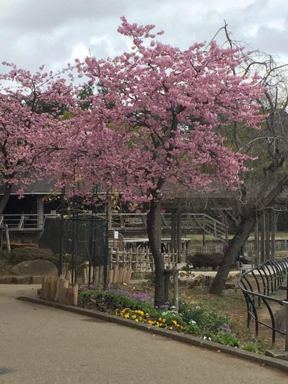 蓮池の入口の桜2
