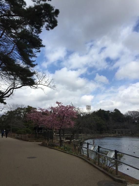 蓮池の入口の桜1