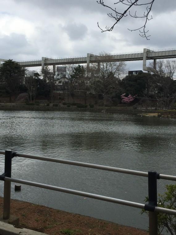 池の反対側の桜