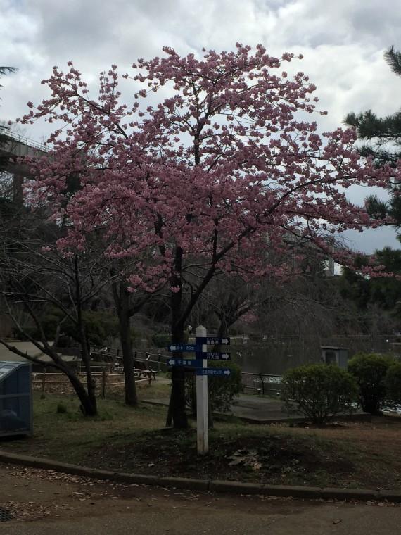池の入口案内の桜