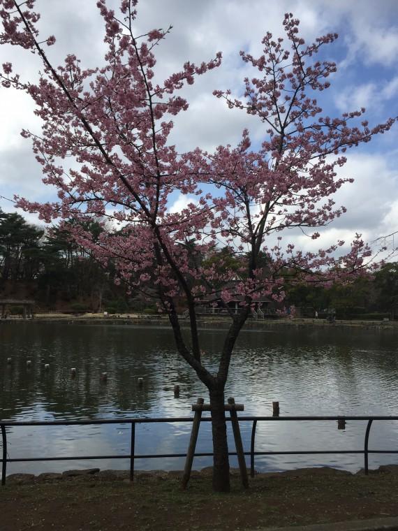 池の反対側の桜前