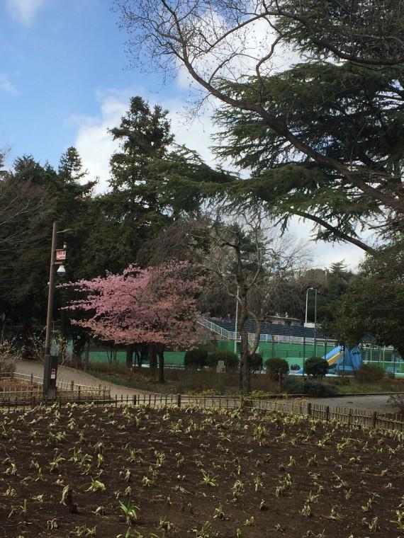 運動公園前の桜